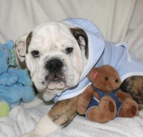 Dog Hoodie Sweatshirt Jacket, BLUE XS - 1