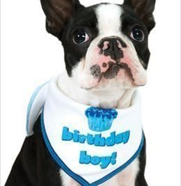 "Birthday Scarf for Boy Dogs - White w/ Blue for Boys - LG (15"" - 20"" neck) - 1"