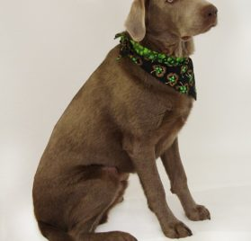 "St. Patrick's Day Dog Bandana - St. Patrick's Shamrocks (S) Ties on 9"" - 10"" neck - 2"