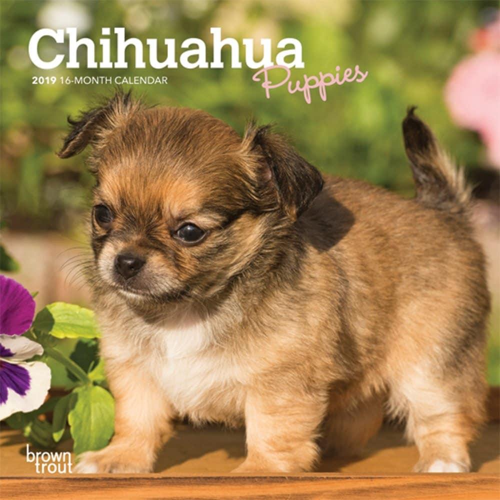 Mini chihuaua