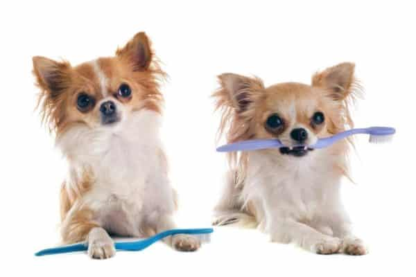 Wallmonkeys Chihuahuas and Toothbrush Wall Decal Peel and Stick Graphic (18 in W x 12 in H) WM188830 2