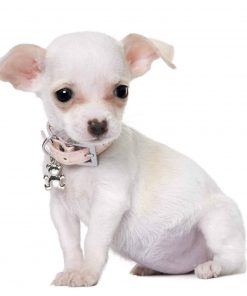 Wallmonkeys Cute Chihuahua Puppy Month Old Wall Decal Peel and Stick Graphic WM31866 (18 in W x 16 in H) 2