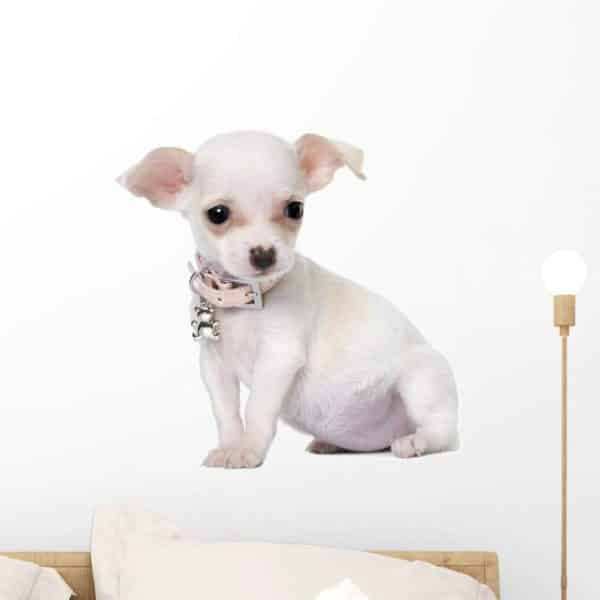 Wallmonkeys Cute Chihuahua Puppy Month Old Wall Decal Peel and Stick Graphic WM31866 (18 in W x 16 in H)