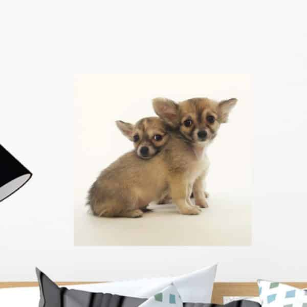 Wallmonkeys Long-haired Chihuahuas Wall Decal Peel and Stick Graphic WM62599 (18 in H x 18 in W)