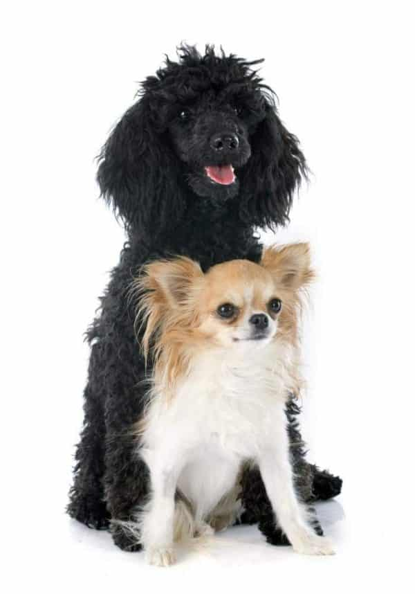 Wallmonkeys Puppy Poodle and Chihuahua Wall Decal Peel and Stick Graphic WM116662 (30 in H x 21 in W)