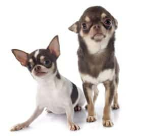 Wallmonkeys Two Chihuahuas Wall Decal Peel and Stick Graphic WM285845 (18 in H x 18 in W) 2